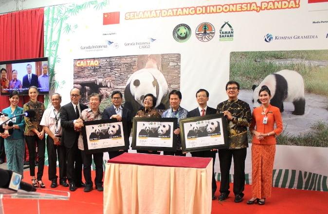Sepasang Giant Panda Untuk Taman Safari Indonesia Telah Tiba