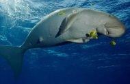Festival Panggil Ikan Dugong Ditargetkan Jadi Agenda Tahunan
